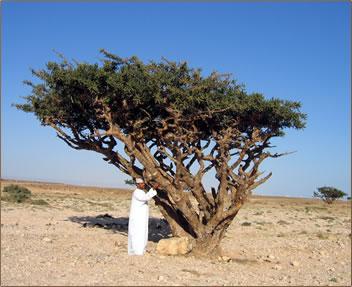 Drevo bosvelije
